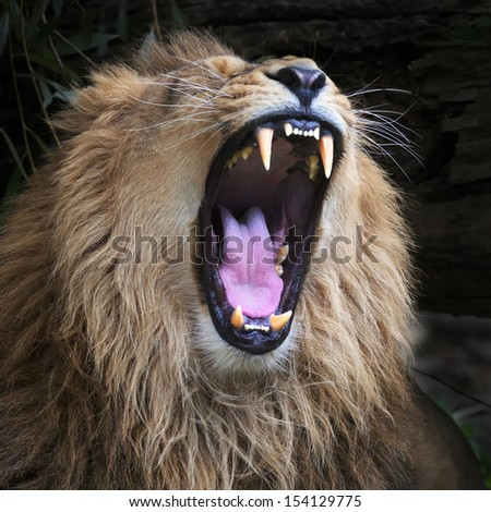 Huge fangs of an Asian lion, resting in forest shadow. The King of beasts, biggest cat of the world. The most dangerous and mighty predator of the world with open chaps. Square image. - stock photo