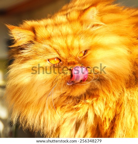huge fat cat Persian. Cat licking  - stock photo