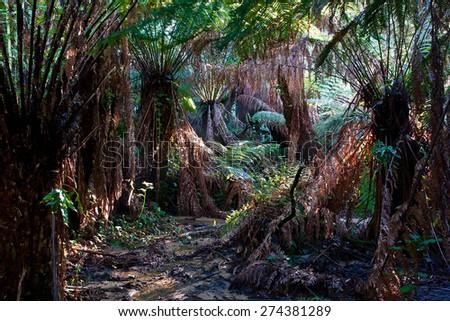 Huge ferntrees in tropical rainforest, Dandenong Ranges, Victoria, Australia - stock photo