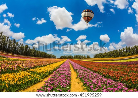 Huge field of blossoming garden buttercups-ranunculus. Above the flowers flying big bright balloon. The concept of summer vacation - stock photo