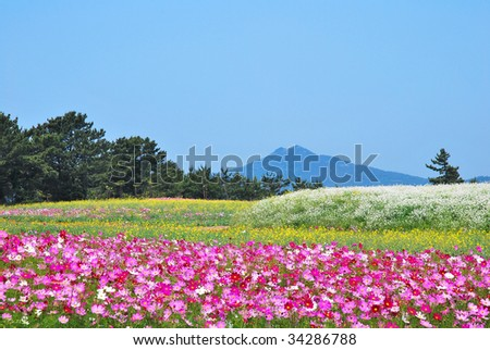 Huge field of flowers with volcano towering in the background - stock photo