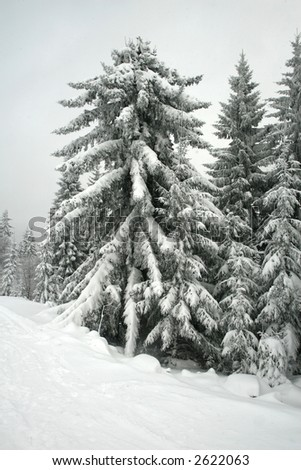 Huge fir tree covered in snow in hard winter - stock photo