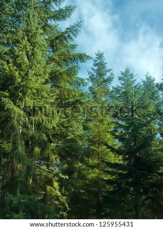 Huge fir trees in the forest against the blue sky. - stock photo