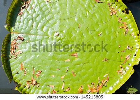 Huge floating lotus - stock photo