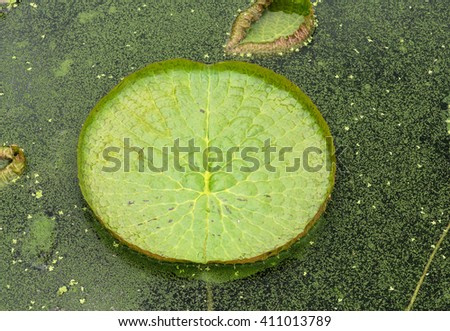 Huge floating lotus,Giant Amazon water lily,Victoria amazonia - stock photo