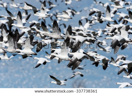 Huge Flock of Snow Geese Migrating South in Fall on Blue Sky - stock photo