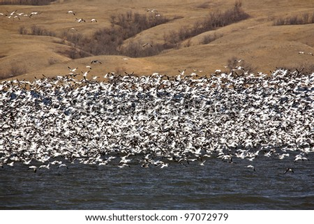 Huge flock of Snow Geese on Buffalo Pound Lake - stock photo