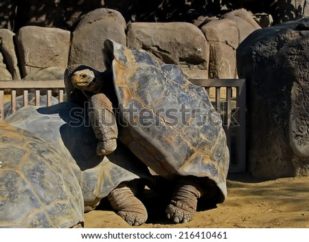 Huge Galapagos Tortoise Largest Living Species of Tortoise - stock photo