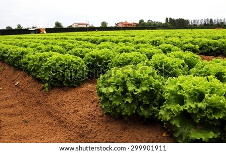 huge head of lettuce in the vast agricultural plains field in summer - stock photo