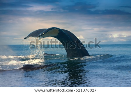 Huge Hump-backed whale (Megaptera novaeangliae) tail in really quiet Pacific ocean. Almost vertical position of tail means that whale dived to great depths