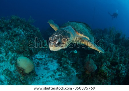Huge Loggerhead Turtle with Divers in the background