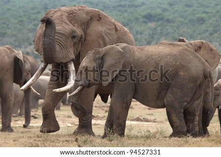 Huge male African elephant attracted to a smaller female