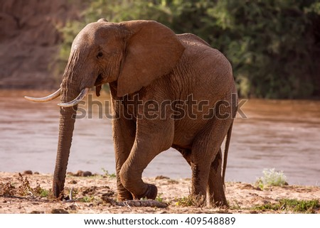 Huge male African elephant drinking water at a waterhole.