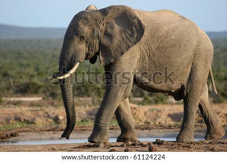 Huge male African elephant drinking water at a waterhole - stock photo