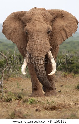 Huge male African elephant with curled trunk and large tusks - stock photo