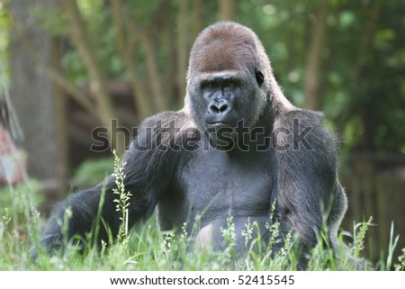 Huge male gorilla making sure his family is safe - stock photo