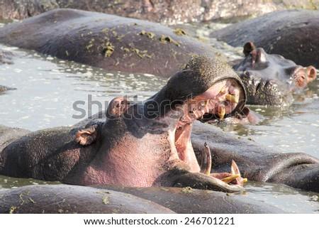 Huge male hippo (Hippopotamus amphibius) yawning in a pool in Serengeti National Park, Tanzania - stock photo