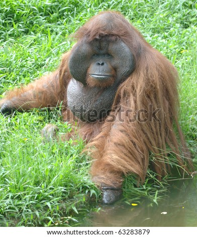 huge male orangutan monkey, borneo, south east asia orange monkey - stock photo