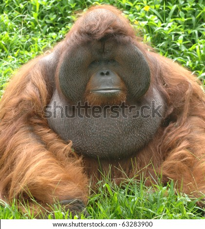 huge male orangutan monkey, borneo, south east asia orange monkey - stock photo