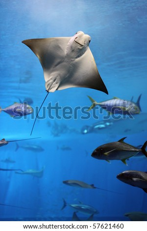 Huge manta ray flying underwater among other fish - stock photo