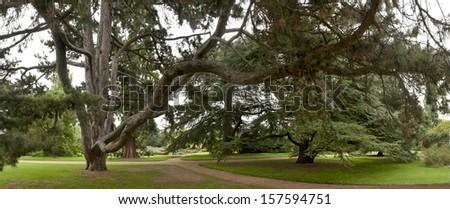 Huge mixed cedar trees at a crossroads including  the Western red cedar, Atlantic cedar and cedar of Lebanon. - stock photo