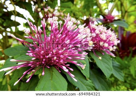 Huge pink purple tropical flowers kauai stock photo royalty free huge pink and purple tropical flowers kauai mightylinksfo
