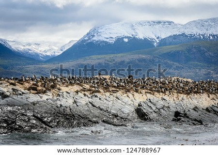 Huge quantity of penguins in the Beagle Channel, Argentina, South America