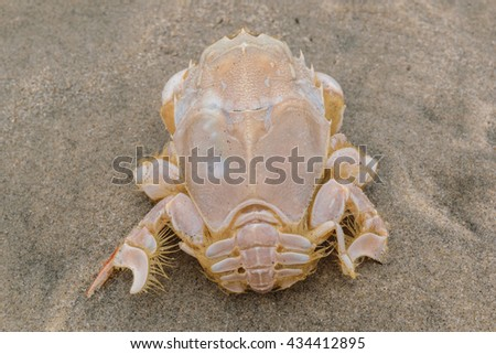 Huge sand crab on a beach - stock photo