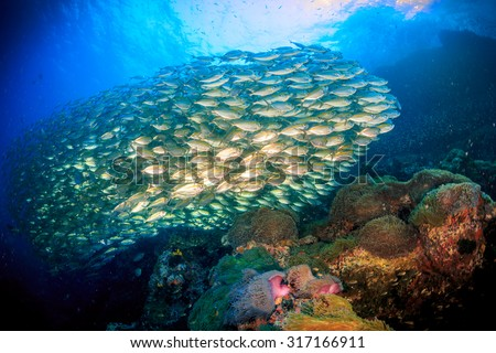 Huge shool of fusiliers fish with colorful anemone, Sail rock, Thailand - stock photo