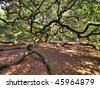huge spreading live oak tree, hdr image - stock photo