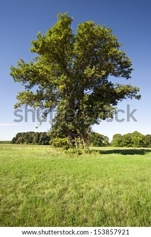 Huge summer tree alone on the meadow with ladder to the hunting stand