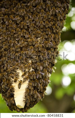 Huge Swarm of honey bees with thousands of individuals - stock photo