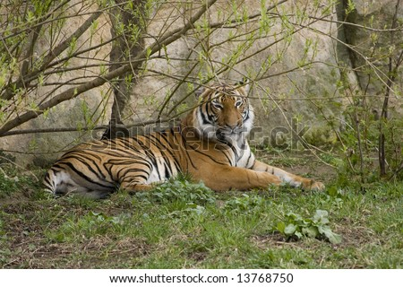 Huge tiger resting under a tree