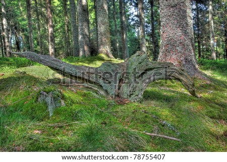 Huge tree trunk in forest scene (HDR Version) - stock photo