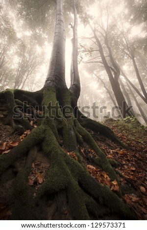 huge tree with roots in a misty forest - stock photo