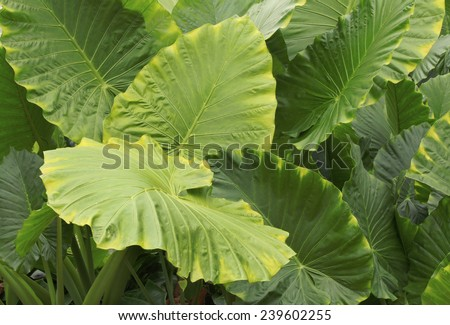 Huge Tropical Rain Forest Plant Leaves  - stock photo