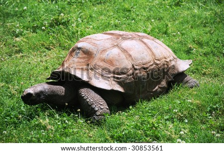 Huge turtle Geochelone Gigantea among a grass. Huge turtles are great travellers. They cross huge oceanic deserts, eating in ways jellyfishes. - stock photo