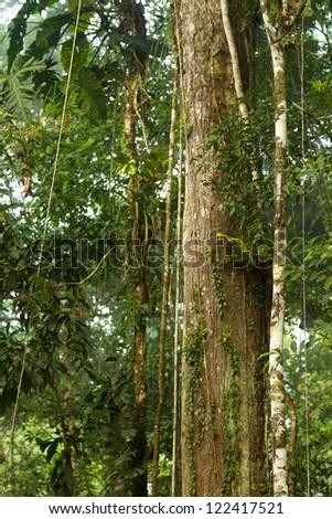 Huge vines in Ecuadorian Yasuni National Park - stock photo