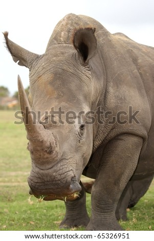 Huge white rhinoceros with grass in it's mouth - stock photo