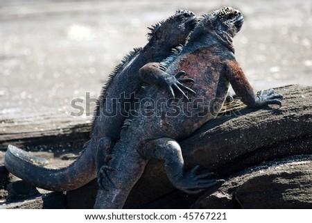 Hugging Marine Iguanas in Galapagos Islands, Ecuador. - stock photo