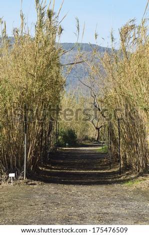 Hula Agamon Lake Botanical Garden shrub bamboo in winter - stock photo