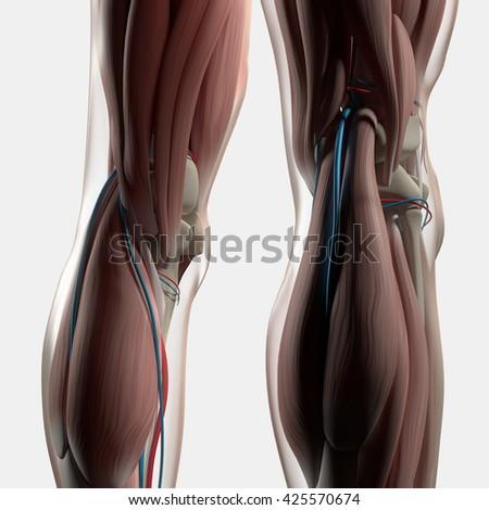 Human Anatomy Back Legs Calf Muscles Stock Illustration 425570674 ...
