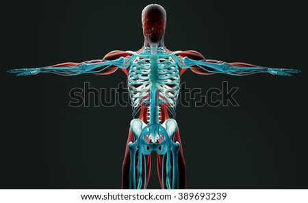 Human anatomy 3D futuristic scan technology with xray-like view of human body. Torso and skeleton front. Vibrant colors. Xray-like.