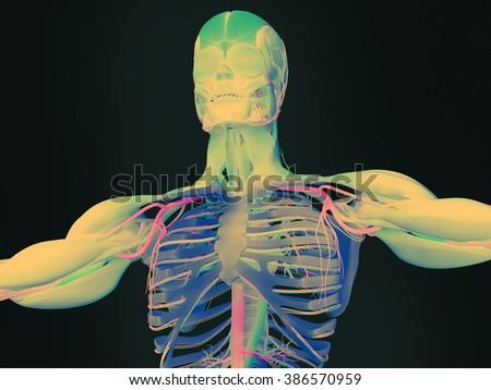 Human anatomy 3D futuristic technology scan.Torso and ribs. Vibrant colours. - stock photo