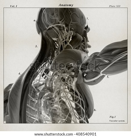 Human anatomy. 3D illustration. Vintage illustration of muscular and vascular system.