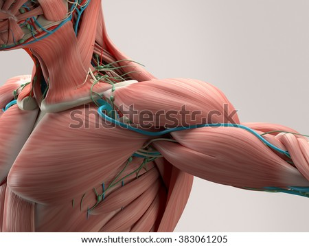 Human anatomy detail of shoulder. Muscle, arteries on plain studio background. Professional lighting. - stock photo