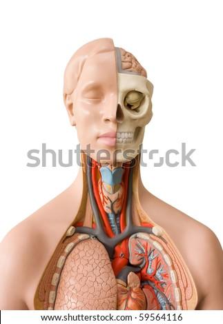Human anatomy dummy - stock photo