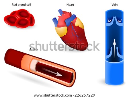 Human anatomy. Elements of the circulatory system: red blood cell or erythrocytes, heart, vein and artery. cardiovascular system. Set icons - stock photo