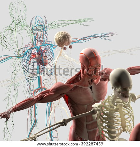 Human anatomy exploded view, deconstructed showing separate parts, muscles, organs, bones. Creative color palettes and designer detail. - stock photo
