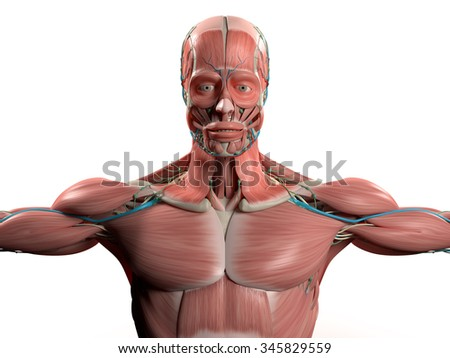Human anatomy head, shoulders, torso,muscular system, vascular system. Plain white background.On flat color, easy to extend background. Use for basis of design or illustration. Alpha can be provided. - stock photo